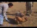 Собачьи бои питбуль терьер Амиго vs гуль терьер