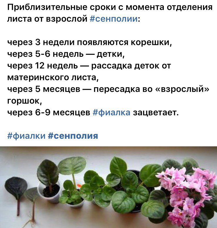 узамбарская фиалка или сенполия - Страница 2 2b6yPv6x2AM