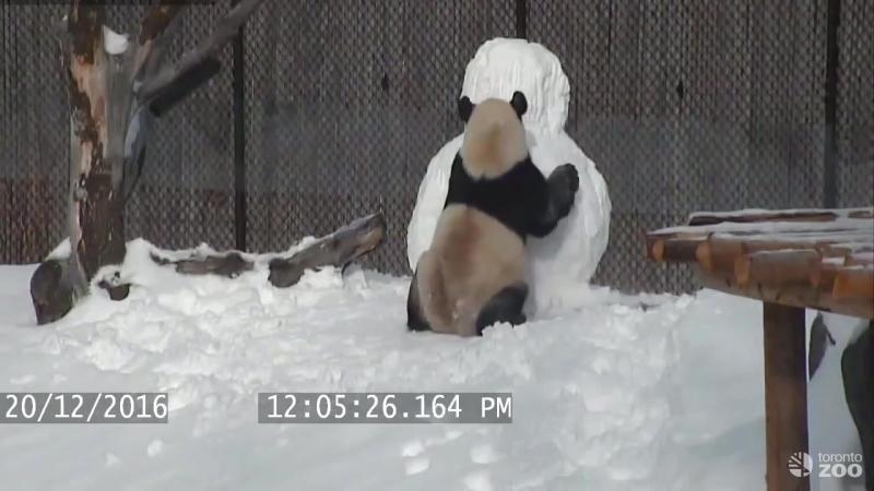 Toronto Zoo Giant Panda vs. Snowman (панда против снеговика)