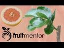 Grafting Citrus Trees - Bud Grafting Successfully