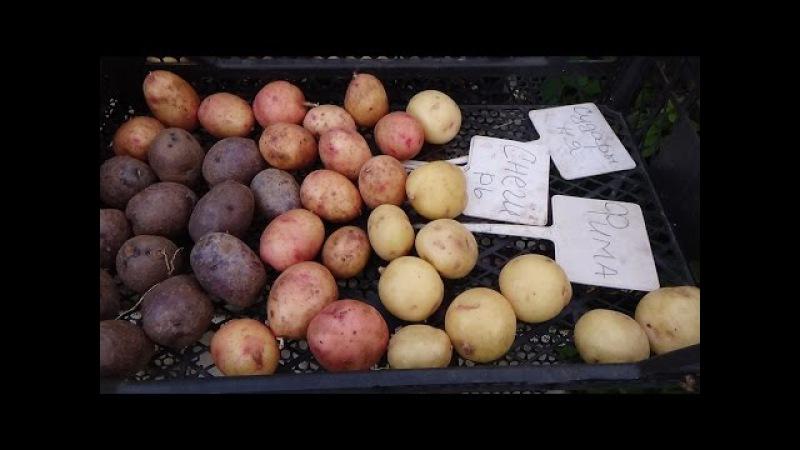 Урожай картофеля в гребнях 2016г природное земледелие