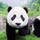Хорошие новости: гигантские панды перестали быть вымирающим видом.