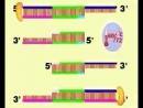 Полимеразная цепная реакция - ПЦР. Биохимия