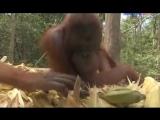 Остров орангутанов, сезон 2, серия 5 - Fight Club