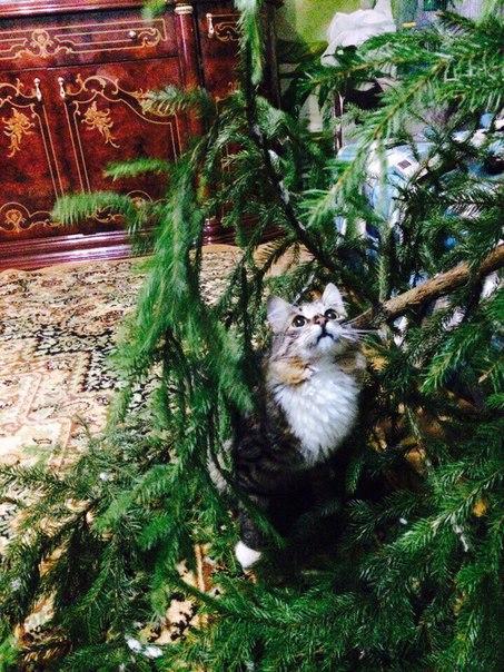 Котята ищут новых хозяев!!! Мама чистокровная британка,папа смесь мейк