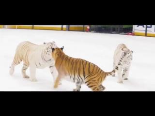 Тигры на льду