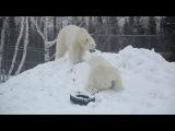 Polar Bear Fun on the Snow Hill