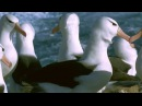 Worlds Largest Albatross Colony Blue Planet BBC Earth