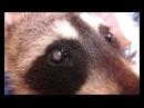 Удаление катаракты у енота