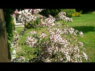 Es ist unglaublich wie der Majoran die Bienen, Hummeln, Schmetterlinge und Schwebfliegen anlockt. Die