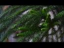 Комнатное растение Араукария ответила на мою заботу Хелат железа