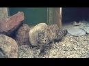 Боливия редкую андскую кошку выпустили в дикую природу новости