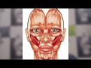 Гимнастика для лица FACEFORMING Галины Дубининой - Убираем носогубные складки