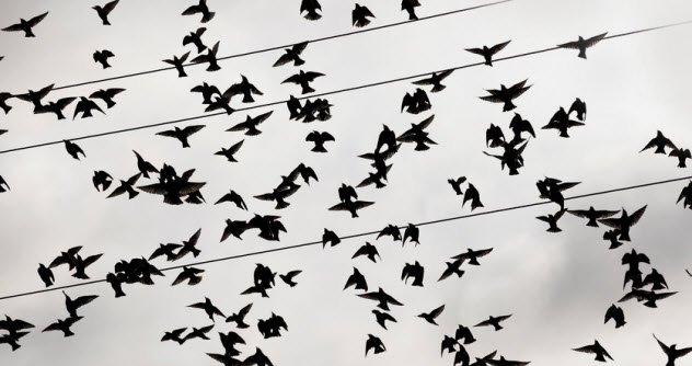 птицы хичкок