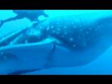 Дайверы помогли китовой акуле избавиться от верёвки диаметром 5см.