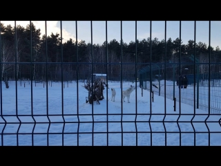 Песня белых волков) Белгородский зоопарк