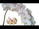Поливаем Орхидеи чесночным настоем для цветения Часть 1 Полив орхидей чесноком