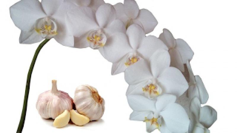 Поливаем Орхидеи чесночным настоем для цветения. Часть 1. Полив орхидей чесноком...