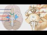 Ствол мозга и выход 12 пар черепных нервов