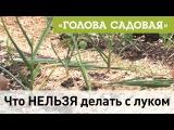 Голова садовая - Что НЕЛЬЗЯ делать с луком