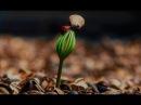 Как вырастить кедр из орешка в домашних условиях How to grow pine nuts from home