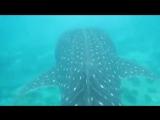 Китовая акула. Мальдивы