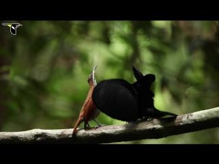 Брачный танец - Великолепная щитоносная райская птица (Ptiloris magnificus)