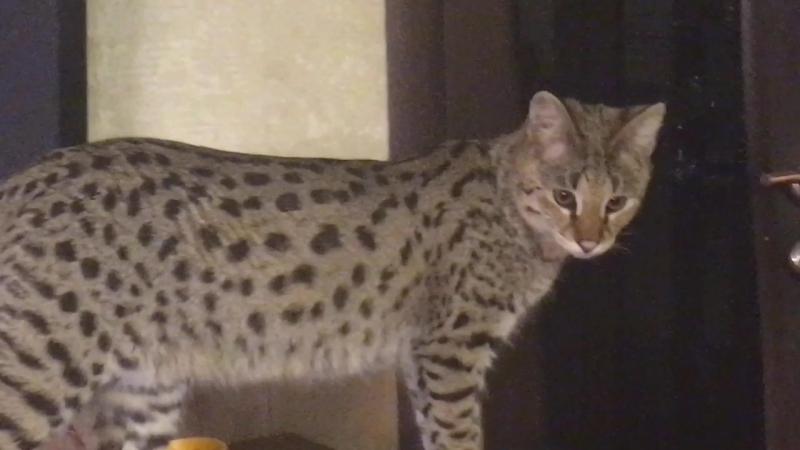 Котёнок Саванна F1😽 Питомник SoulCats🐾