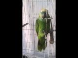 Попугай поет песню Рианны The Monster