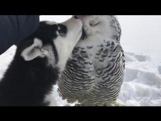 Полярная сова и хаски