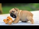 Bulldog video 2017 смешные бульдоги видео