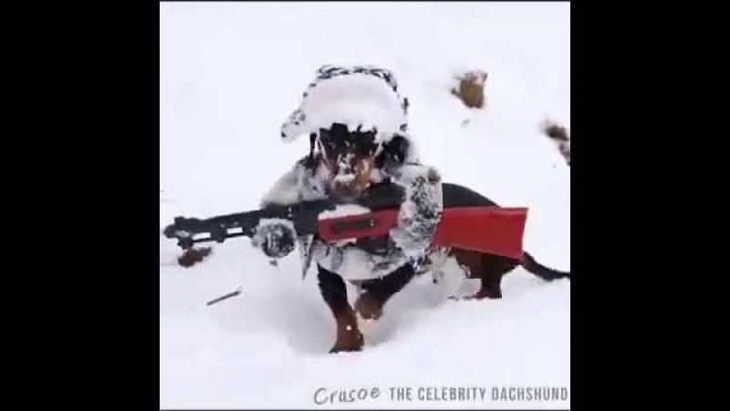 Такса в костюме охотника бегает по снегу