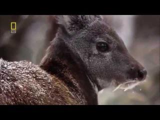 Кабарга / Moschus moschiferus / Siberian musk deer