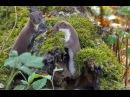 [Least] Weasel (Mustela nivalis) / Mauswiesel, Zwergwiesel, Kleinwiesel oder Hermännchen