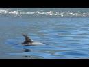 Серый дельфин / Grampus griseus / Risso's dolphin