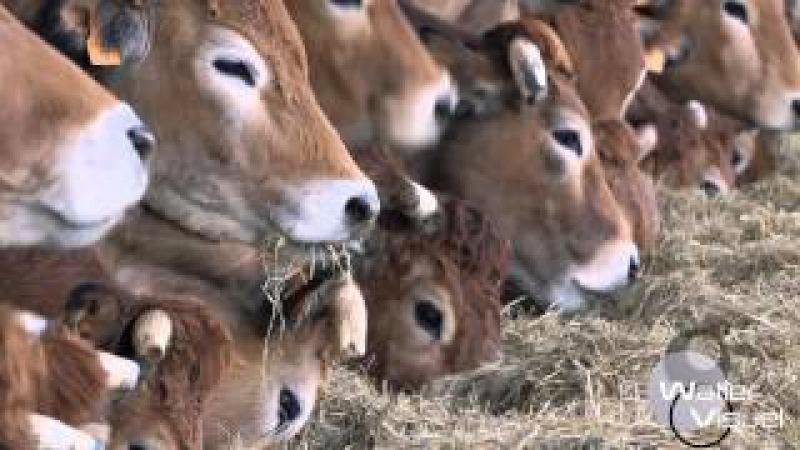 Réalisation Films Vidéo Elevage Bovin race viande Parthenaise Vaches stabulation