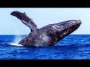 Синий кит Редкие кадры Blue whale Rare footage