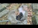 Monkey wildlife 31, baby monkey with mom, monkey eating lice