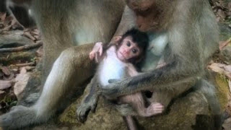 Monkey wildlife 32, Cute baby monkey with mom » Freewka.com - Смотреть онлайн в хорощем качестве