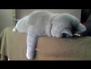 Котэ после вечеринки спит вот так
