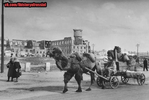 Верблюды на службе