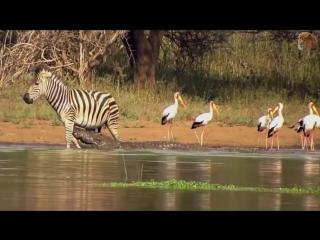 Когда жертва даёт отпор - сумасшедший Кабан, Зебра, Жираф против бедного Льва, леопарда, крокодила