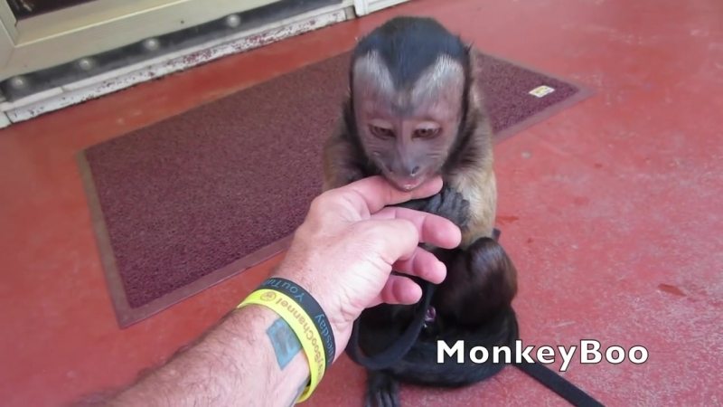 Capuchin Monkey Cry Baby