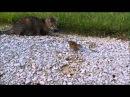 Забавные Животные - Бурундук! Веселая Видео Подборка!
