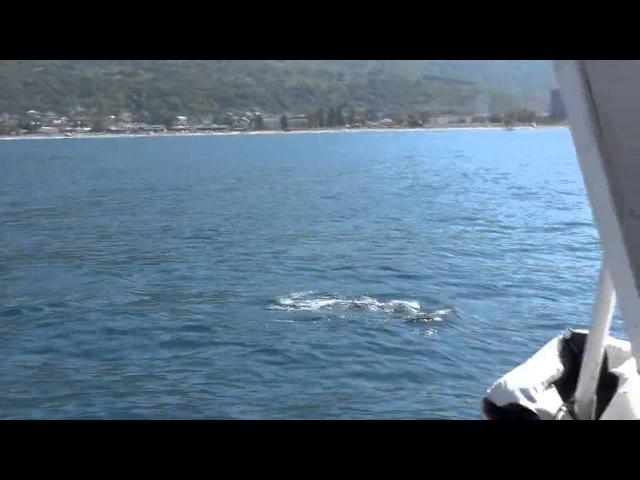 Дельфины Гагры Абхазия (Видео Турист)
