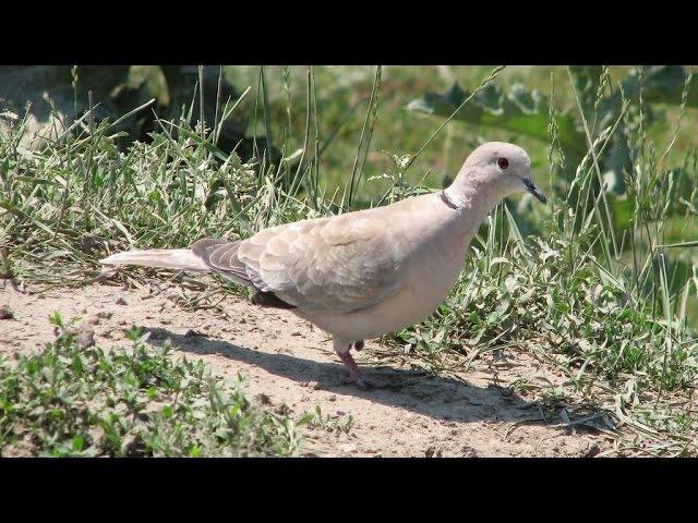 Дикие голуби - Кольчатые горлицы на нашей даче