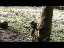 Cavan Son Of Carbzilla Try To Climb Big Tree But Fail Lol | Monkey Video