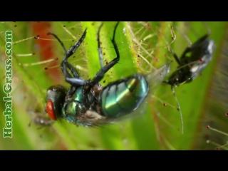 Роридула - растение хищник на насекомых, плотоядные растения