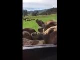 Угарный страус