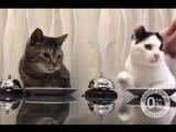 Дрессированные коты